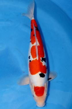 Showclass Doitsu Maruten Sanke ca. 50cm verkauft