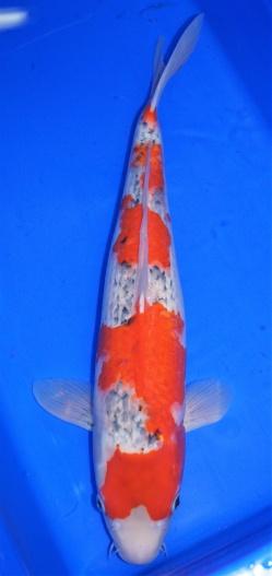 Goshiki ca. 55cm verkauft