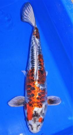 Koi Beni Kikokuryu ca. 50-55cm verkauft