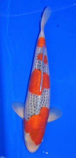 Goshiki Cuniyasu 43-45cm