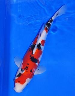 Red Kujaku Züchter Tsuna ca. 40cm