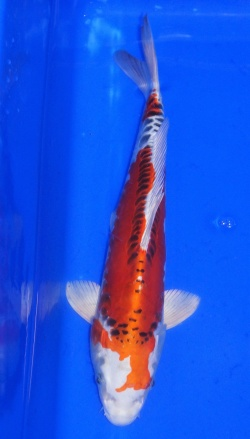 343-2019 Japankoi Züchter Tsuna  ca. 35cm Benikikokuryu verkauft